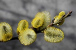 Goat Willow - Pussy Willow (Salix caprea)